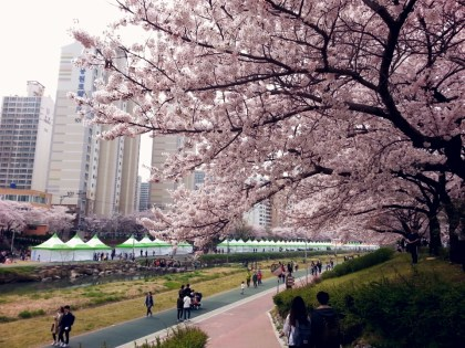 cherry blossom tree 3