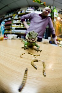 Dave Marston's Lizard, Dave's Reptiles. Photo by AF Rodrigues