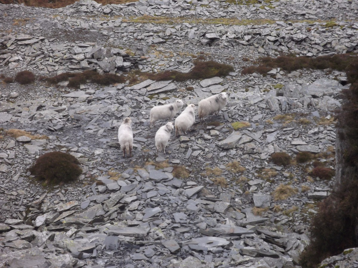 Sheep at Blaenau Ffestiniog slate mines