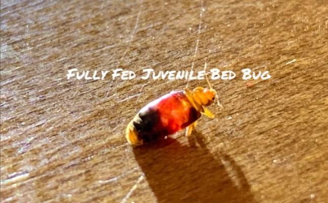 Fully fed juvenile bed bug. Dead Bug Walkin LLC Tulsa Metro area.