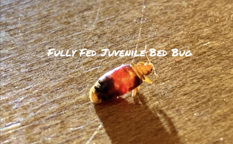 Juvenile bed bug. Dead Bug Walkin LLC Tulsa OK Metro Area.
