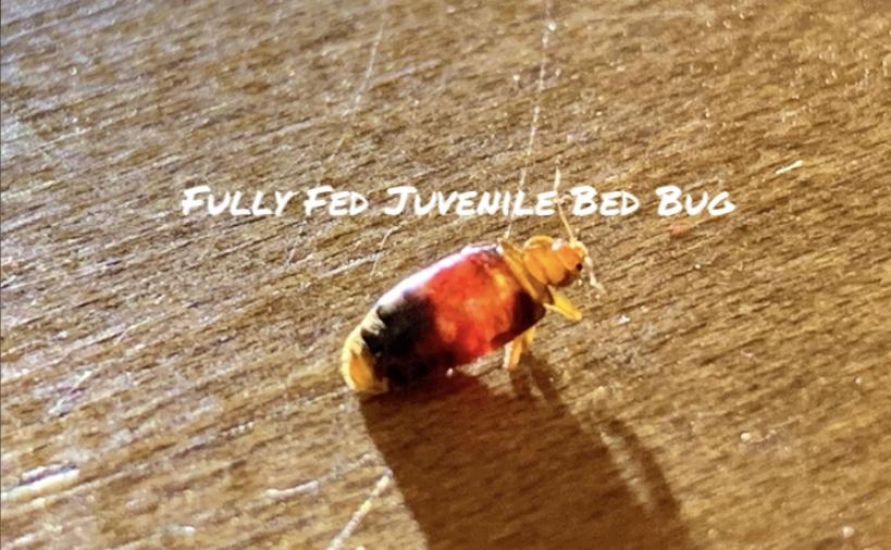 Juvenile bed bug. Dead Bug Walkin LLC Tulsa OK Metro Area.