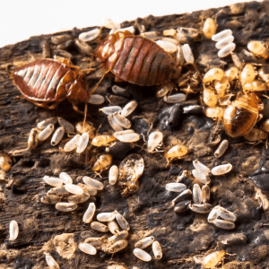Closeup of all life cycles of bed bugs from egg to adult in Oklahoma.