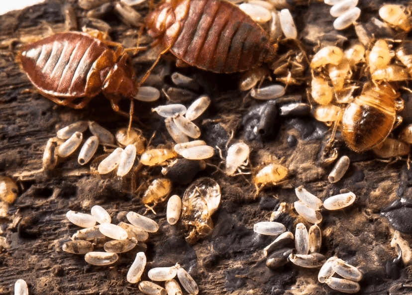 , What do bed bug eggs look like?