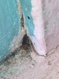 Bed bug on top of baseboard.