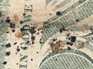 Bed bugs and eggs on a dollar bill. They can be anywhere and on anything.