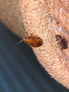 Bed bug on a sofa at our clients home Broken Arrow OK.