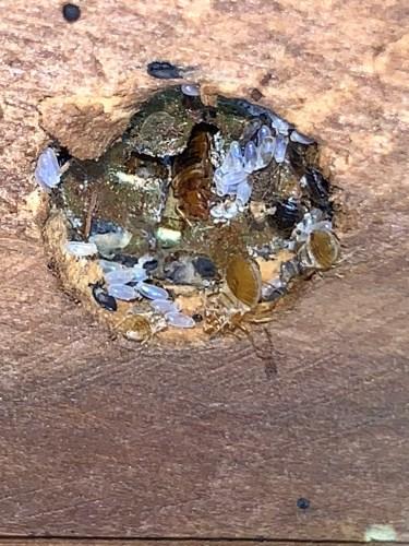 Bed bug nest. Oklahoma. Dead Bug Walkin LLC. Zoom 10x