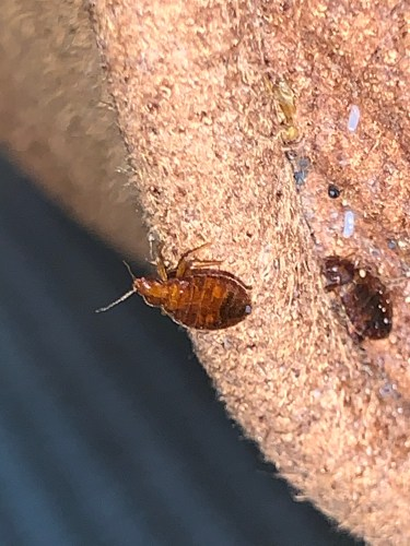 Bed bug perched on a sofa in Collinsville OK. Dead Bug Walkin LLC.