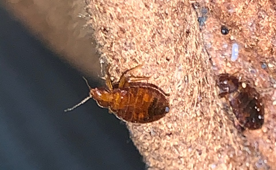 , Can bed bugs jump or fly?