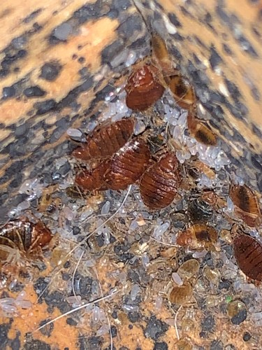 Bed bug nest with all life cycles present and of course excrement. Bed bugs prefer to be in corners or up against something.