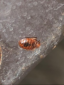 This adult bed bug that was getting its blood meal from a person with red blood.