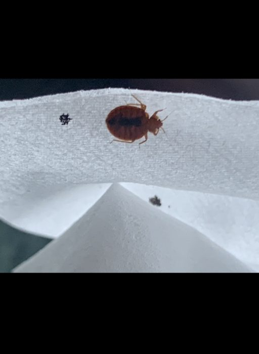 Adult bed bug. Dead Bug Walkin LLC Tulsa OK Metro Area.