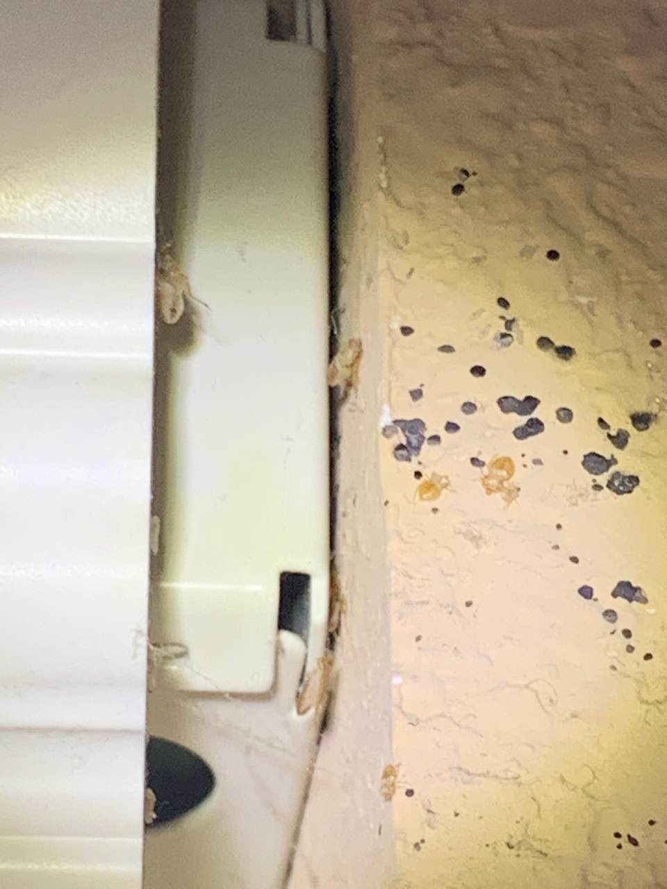 Like what is pictured, the easiest way to spot bed bug activity is to locate their poop or excrement. The shed skins shown are also a big tell that bed bugs are present.