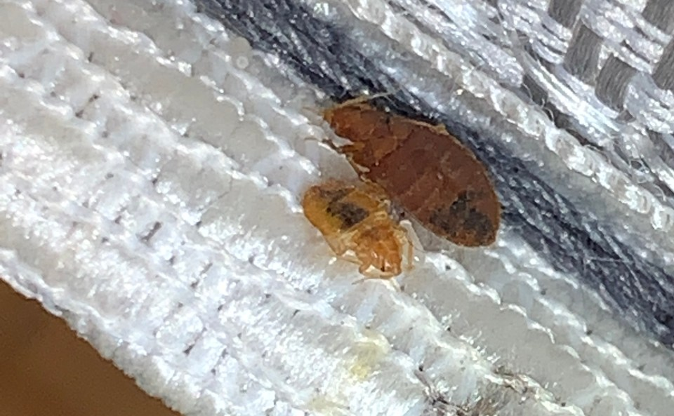 , What do bed bugs eat and drink?, Dead Bug Walkin LLC