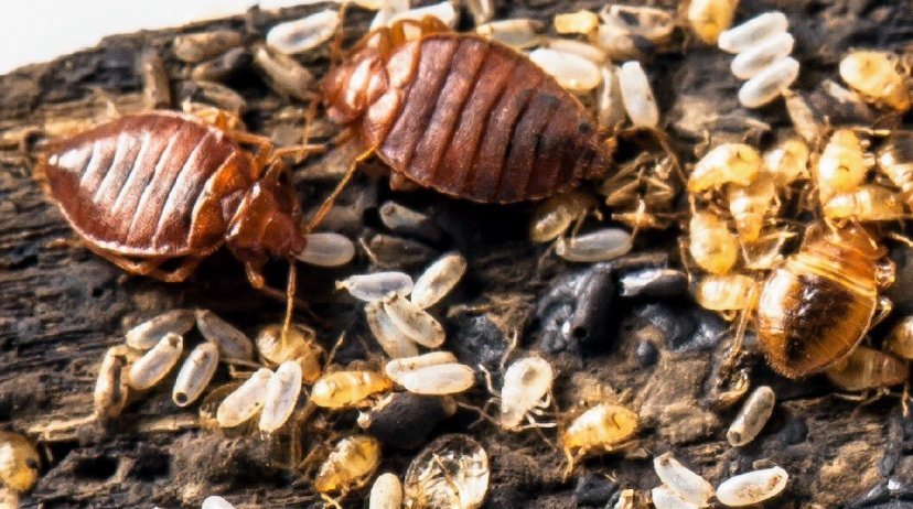Bed bug infestation. Bed bug life stages from egg to adult pictured above.