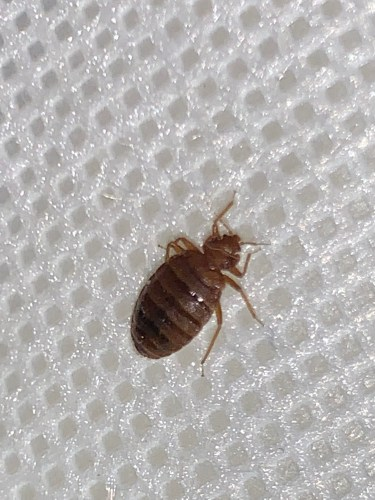 Female adult bed bug ​that is partially full of a blood meal pictured.