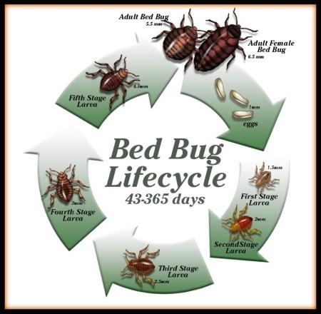 bed bug life cycle image