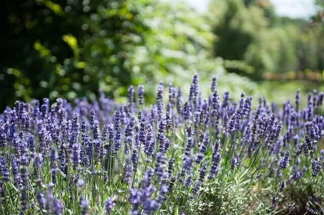 How Best to Use Lavender Oil in Bedroom for Sleeping