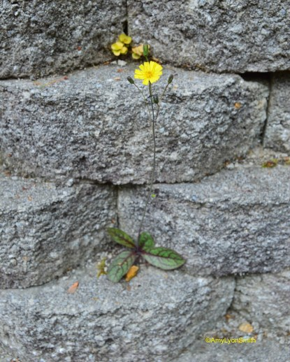 Weed/Flower Coming up through retaining wall