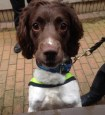 Trainee police dog Charlie