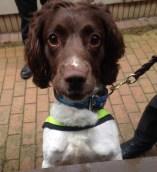 Trainee police dog Charlie
