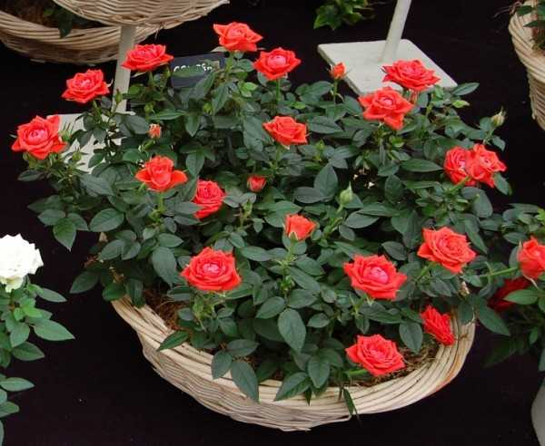 Домашние розы фото – Роза домашняя: уход в домашних ...