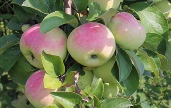 Фото яблони имрус фото и описание сорта фото – описание ...