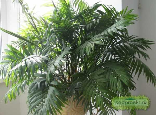 Комнатные пальмы фото и названия уход – Ой!