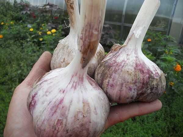 Крупный чеснок – Крупные сорта чеснока с описанием и фото