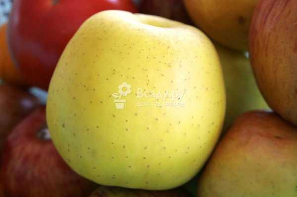 Сорта яблок фото – Сорта яблонь с фото: описание, отзывы ...