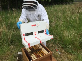 Dunting the bees into the hive.