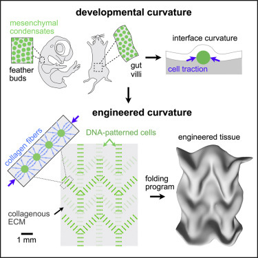 scientists folding living cells