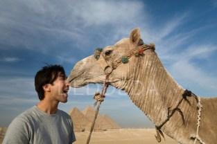 camel-kiss-egypt-giza-pyramids