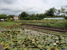 waterlily beds Latour-Marliac France