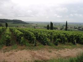 Vineyards in Saint-Emilion