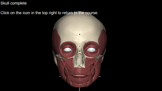 Muscles being added to a skull to start a facial reconstruction
