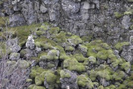Lava fields and mosses
