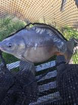 fat carp