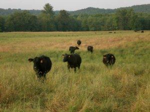 f7a06-cattle