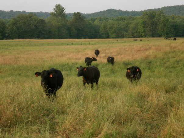 Measuring Livestock Contributions To Greenhouse Gas Emissions