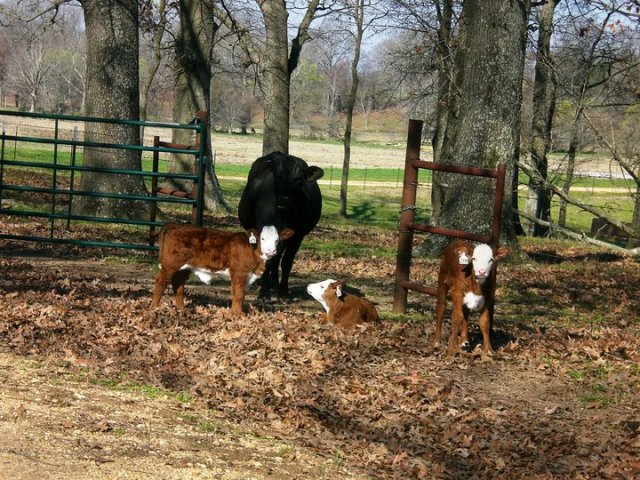 calving dystocia cow calf
