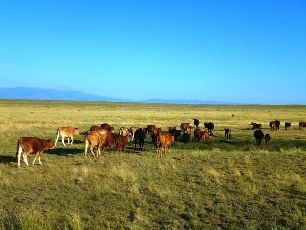 Cattle Breeds 101: Beefmaster