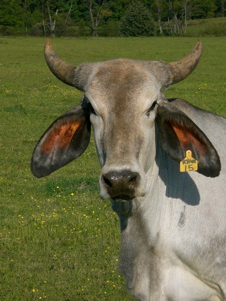 Cattle Breeds 101: Brahman