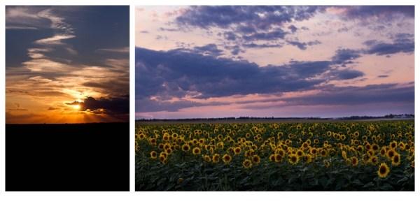North Dakota Sunset on Sun Flowers