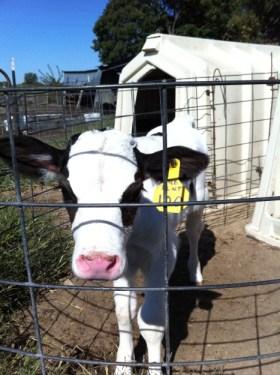 Holstein Dairy Calf Hutch Artificial Insemination