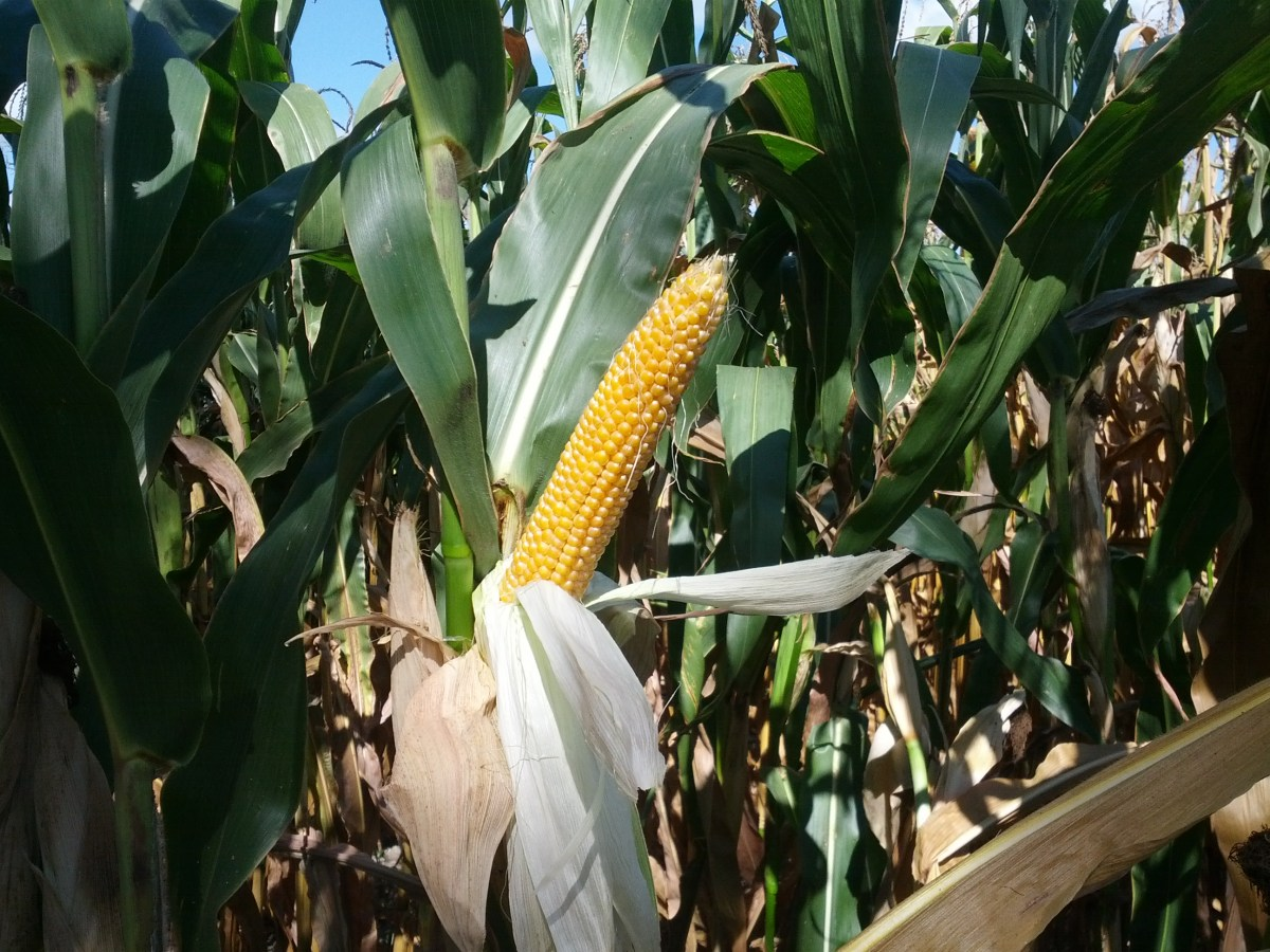 Ask A Farmer: Why do farmers leave dying corn in fields?