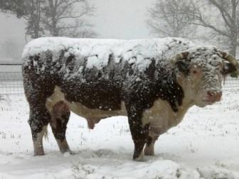 bull in the snow