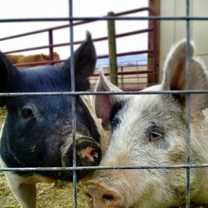 4-H Show Pigs
