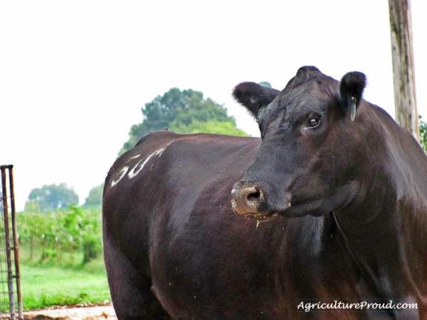 Cattle Breeds 101: Angus